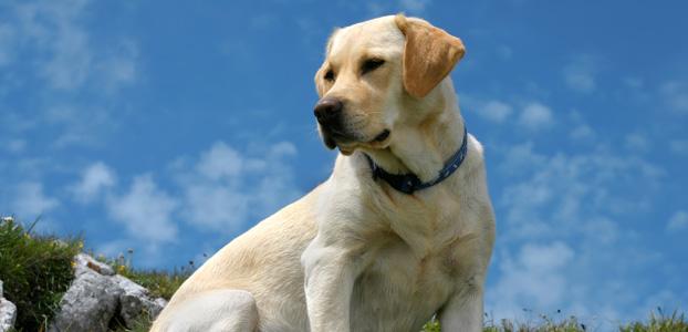 Собаки и щенки породы лабрадор купить из питомников и